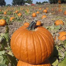 Pumpkin Patches Near Colorado Springs Co by Harvest Festival