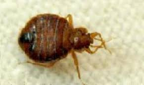 Bed Bugs Spreading Throughout Michigan