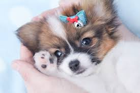 Do Miniature Pinschers Shed by Do Papillon Dogs Shed 18 Widescreen Wallpaper