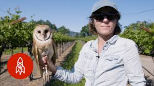Barn Owls: The Secret Saviors Of Napa Valley's Vineyards - YouTube Catching Prey In The Dark Barn Owl Tyto Alba Owls Make A Comeback Iowa The Gazette Of Australia Australian Geographic How To Build Or Buy Nest Box Company Best 25 Ideas On Pinterest Beautiful Owl Owls And Modern Farmer Absolutely Stunning Barn Drawing From Artist Vanessa Foley Audubon California Starr Ranch Live Webcams Red By Thef0xdeviantartcom Deviantart Tattoo Scvnewscom Opinioncommentary Beautifully Adapted 9 Best Images A Smile Animal Fun
