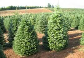 Fraser Fir Christmas Trees Nc by Trees U2013 Oregon Evergreen U0026 Willamette Evergreen U2013 Wholesale