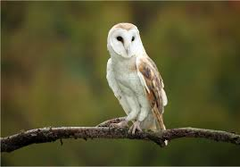 Amazing Facts About Barn Owls - YouTube Lets Talk About Birds Barn Owl Pittsburgh Postgazette Couple Owls Stock Photo 30126931 Shutterstock Watch The Secret To Why Barn Owls Dont Lose Their Hearing New Zealand Online Let You Know Birdnote Owl John James Audubons Of America Information Found Suffer No Loss As They Age Facts Pictures Diet Breeding Habitat Behaviour Baby Youtube