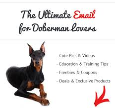 Best Guard Dogs That Dont Shed by Do Dobermans Make Good Guard Dogs See What Real Doberman Owners Say