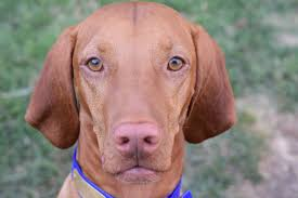 Do Vizsla Dogs Shed by Life With Louie Follow The Adventures Of Louie The Vizsla