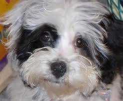 Do Hypoallergenic Dogs Still Shed by Non Shedding Dog Breeds Lolabelles U0027s Blog