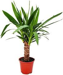 exotenherz yucca palme palmlilie 14cm topf