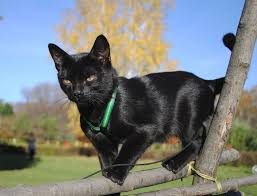 bombay cats bombay cat care behavior personality pictures and
