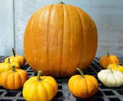 Columbus Pumpkin Patch by Pumpkin Patch Puts Visitors In Fall Spirit Local
