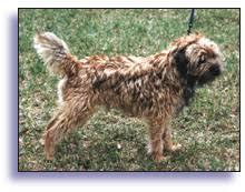 border terrier in brief chapter 3