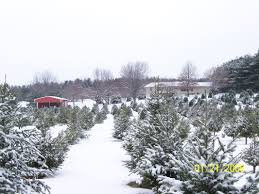 Chicago Christmas Tree Recycling 2013 by Northwest Illinois Christmas Tree Farms Choose And Cut Christmas