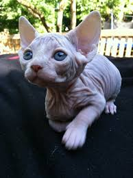 hairless cat price best 25 hairless kitten ideas on sphinx cat sphynx