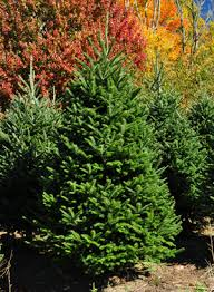 Fraser Fir Christmas Trees Nc by Fraser Fir Christmas Trees Wholesale Fraser Firs