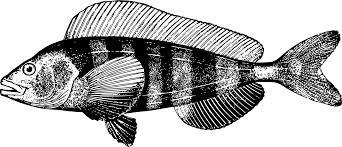 Fauna Fish Tilapia Free Commercial Clipart