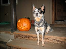Feeding Dog Pumpkin Constipation by How To Make Healthy Dog Treats With Left Over Pumpkin U2013 Ruffwear