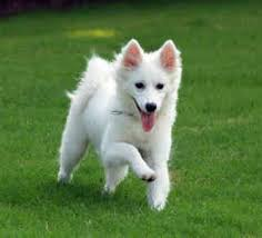 american eskimo dog once a popular circus dog