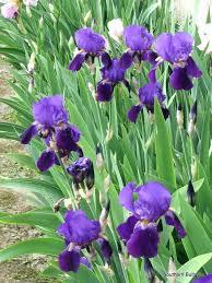 iris bulbs iris iris bulbs for sale dresse club