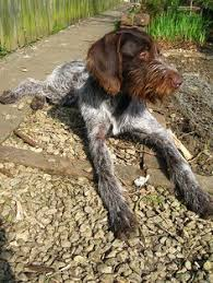 Griffon German Wirehaired Pointer Shedding by Just Like My Boy Art Previous To Hank To Those In The Know My