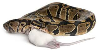 Ball Python Shedding Eating by Common Ball Python Feeding Problems And How To Handle Them