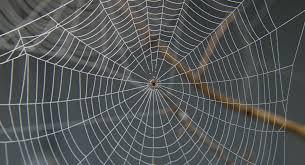 en australie une gigantesque toile d araignée recouvre les arbres