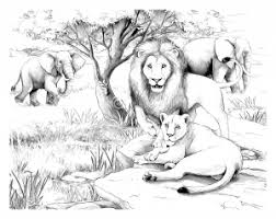 Coloring Adult Africa Lions Free To Print