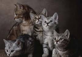 shorthair cat price european shorthair cat breed description photos colors