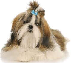 Which Dogs Do Not Shed Or Smell by 14 Dogs That Dont Shed Hair Chinese Crested Dog Breed