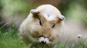 Can Guinea Pigs Eat Pumpkin Seeds by This Is A Guinea Pig Named Professor Booboo And He Is Grooming