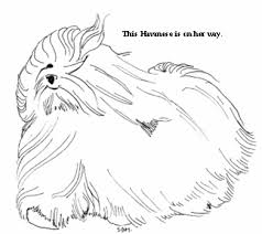 Havanese Coloring Pages Galore