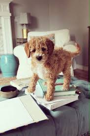 Cavapoos Do They Shed by 194 Best Cavapoos U0026 And Other Lil Cuties Images On Pinterest