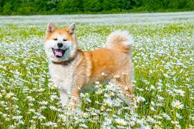Do Shibas Shed A Lot by Which Dogs Shed The Most Hair Animal Friends