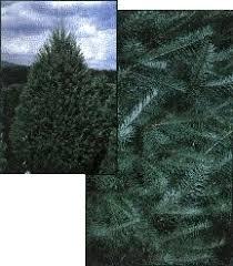 New York Christmas Trees