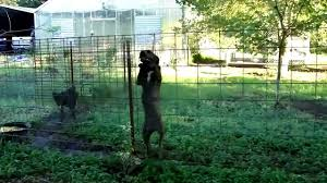Escape Artist Dog Climbs Fence - YouTube 100 Dog Escapes Backyard Run Ideas How To Build A To Guide Install Homer The Beagle Capes Home Heads Kids School Determined Cannot Be Fenced Im Not Stalking You Wearing Gopro Camera Jukin Media Annie The Heat Youtube Escape Artist Climbs Fence Creative Country Scenes Coloring Book For Adults Adult Qa More Help Dogfriendly Gardens Sunset Funny Puppy Kennel