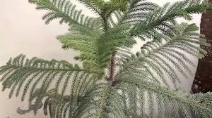 Automatic Christmas Tree Waterer Instructions by How To Grow Araucaria Plant Norfolk Island Pine Care And Tips