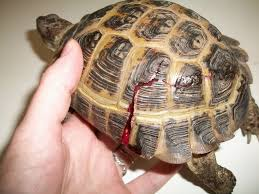 Snapping Turtle Shell Shedding by Amesbury Animal Hospital December 2010 Happy Holidays