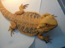 Bearded Dragon Shedding In Patches by Bearded Dragon Morphs Colors U0026 Patterns