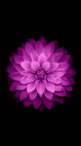 iPhone 6 ficial Wallpapers purple flowers