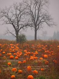 Wheatfield Pumpkin Patch by Great Shot During Perfect Pumpkin Patch Weather Would Be So Fun