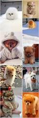 Non Shedding Small Dogs Australia best 20 small dog breeds ideas on pinterest small puppy breeds