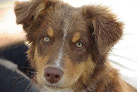 are australian shepherds hypoallergenic canna pet