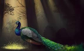 Peacock Full HD Wallpaper And Background Image