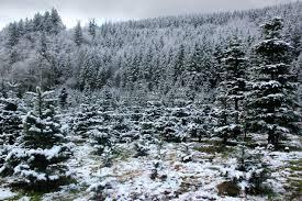 Fraser Fir Christmas Trees Care by Fraser Fir Caring For Camille