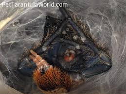 how do spiders shed their skin pet tarantula world