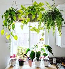 big boston fern golden pothos hängepflanzen backplants