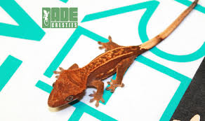 Halloween Harlequin Crested Gecko For Sale by Dade Cresties Product Categories Available Geckos