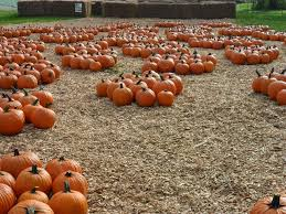 Pumpkin Picking In Ct by Rose Orchards Corn Maze U0026 Pumpkin Patch Connecticut Haunted Houses