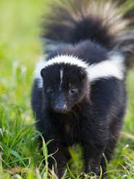 That Skunk Doesn't WANT To Spray You (or Your Dog) – WildCare How To Get Rid Of Skunks From Under A Shed Youtube Rabbits Identify And Rid Garden Pest Of And Prevent Infestation With Professional Skunk In Backyard Outdoor Goods To Your Yard Quick Ideas Image Beasts Diggings Droppings Moles Telegraph Mole Removal Skunk Control Treatments Repellent For The Home Yard Garden Odor What Really Works Pics On Extraordinary Affordable Wildlife Control Toronto Raccoon Squirrel Awesome A Wliinc