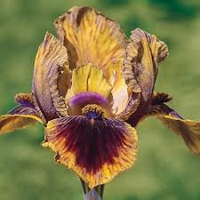 21 best 2016 iris images on backyard ideas fishing