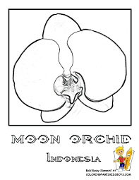Indonesia Moon Orchid Coloring At YesColoring