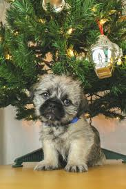 Do Pocket Puggles Shed by Best 25 Pug Mix Ideas On Pinterest Small Puppy Breeds Cutest