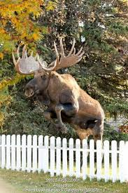 Moose Shed Antler Forums by 301 Best Moose Images On Pinterest Animals Wild Animals And